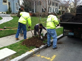 The Department of Public Works planted 44 bare-root trees in the spring of 2012.